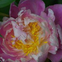 Paeonia lactiflora \'Catharina Fontijn\'