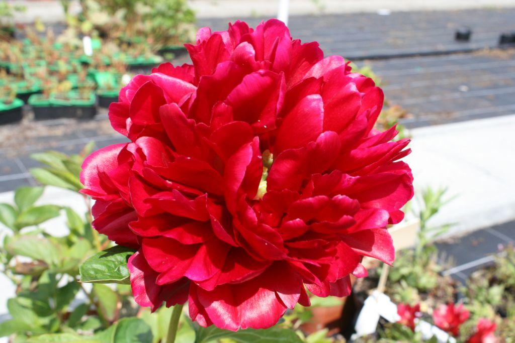 Paeonia lactiflora \'Henry Bockstoce\'
