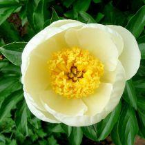 Paeonia lactiflora \'Jan Van Leeuwen\'