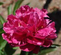 Paeonia lactiflora \'Louis Van Houtte\'