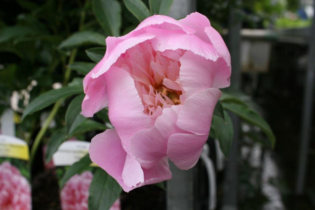 Paeonia lactiflora \'Monsieur Jules Elie\'