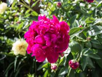 Paeonia lactiflora \'Paul M Wild\'