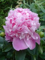 Paeonia lactiflora \'Pink Cameo\'