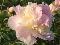 Paeonia lactiflora \'Raspberry Sundae\'