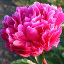 Paeonia lactiflora \'Red Sarah Bernhardt\'