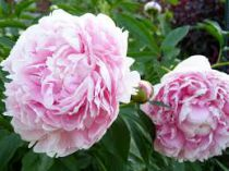 Paeonia lactiflora \'Sarah Bernhard\'