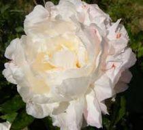 Paeonia lactiflora \'Shirley Temple\'