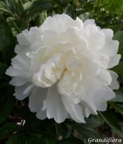 Paeonia lactiflora \'Top Brass\' (double)