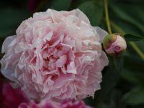 Paeonia lactiflora Double Pink