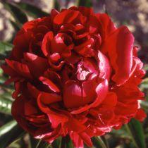 Paeonia lactiflora rouge
