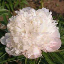 Paeonia officinalis \' Alba Plena \'