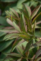 Paeonia officinalis \' Mollis \'