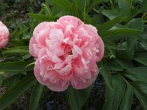 Paeonia officinalis \'mutabilis plena\'
