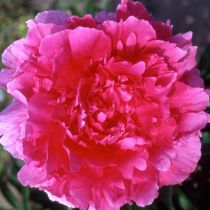 Paeonia officinalis \'Rosea Plena\'