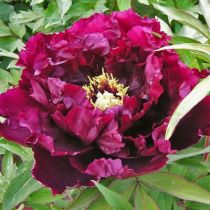 Paeonia suffructicosa \' Kokamon \'
