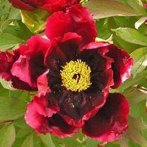 Paeonia suffructicosa \' kokuryu Nishiki \', pivoine arbustive au feuillage evrt caduc et aux fleurs simples pourpre foncé presque noir.
