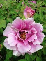 Paeonia suffruticosa \'Elisabeth\'