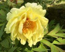 Paeonia suffruticosa \'High Noon\'