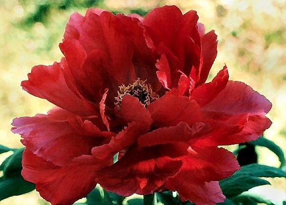 Paeonia suffruticosa \'Hoki\'