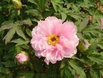 Paeonia suffruticosa \'Yaezakura\'
