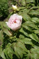 Paeonia suffruticosa \'Yoshinogawa\'