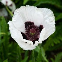 Papaver or. \'Royal Wedding\'