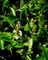 Parahebe \' Kenty Pink \', arbuste tapissant au feuillage persistant et à la floraison en épis rose clair au printemps.