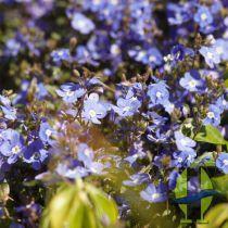 Parahebe Catarractae \'Blue Form\'