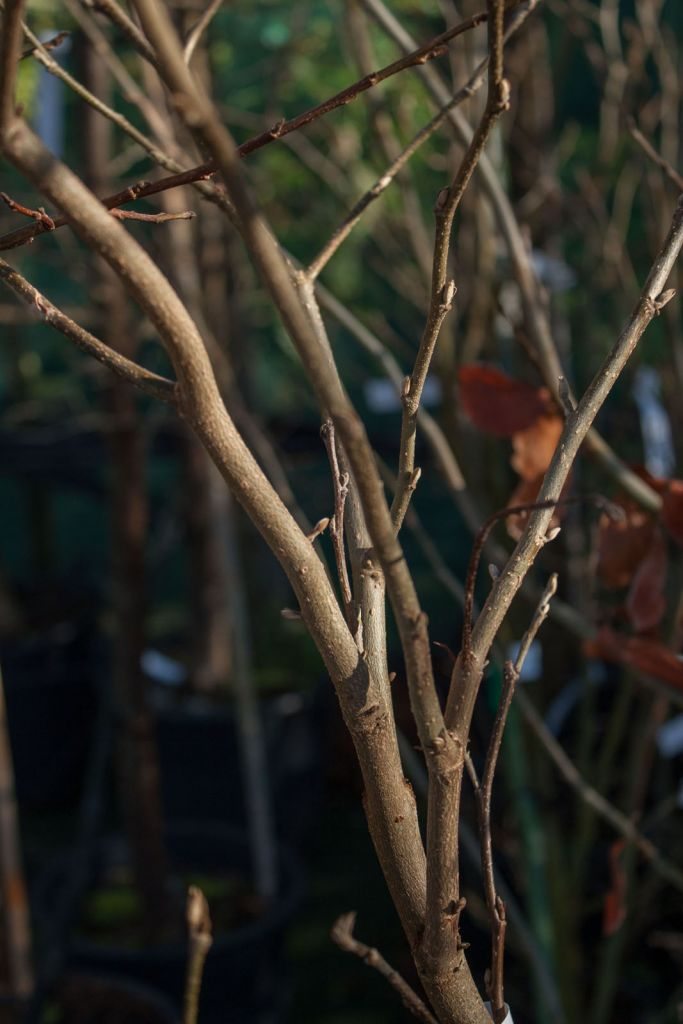 Parrotia persica \' Vanessa \'