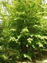 parrotia persica A, petit arbre caduc au feuille verte bordé de pourpre passant au vert foncé en été puis prenant des couleur rose orangé rouge à l\'automne. Fleurs rouge au printemps.