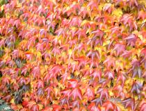Parthenocissus tricuspidata \'Veitchei Robusta\'