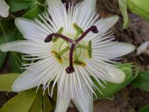 Passiflora caerulea \'Constance Elliot\'