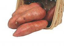 Patate douce - ipomee batatas \'Evangeline\'