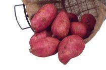 Patate douce - ipomee batatas Murasaki