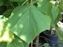 Paulownia Fast Blue, arbre au feuillage caduc vert et aux fleurs parfumée en grosses clochettes bleu mauves au printemps.