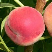 Pêcher \'Amsden\', arbre fruitier caduc à feuille verte et aux fruits rouge et jaune en été.