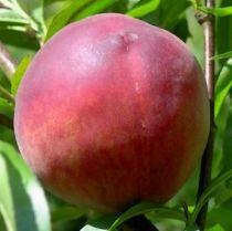 Pêcher \'Dixired\', arbre fruitier caduc à feuille verte et aux fruits rouge vif en été.