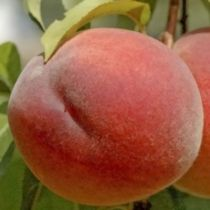 Pêcher \'Jh Hale\', arbre fruitier caduc à feuille verte et aux fruits jaune d\'or frappé de rouge en été.