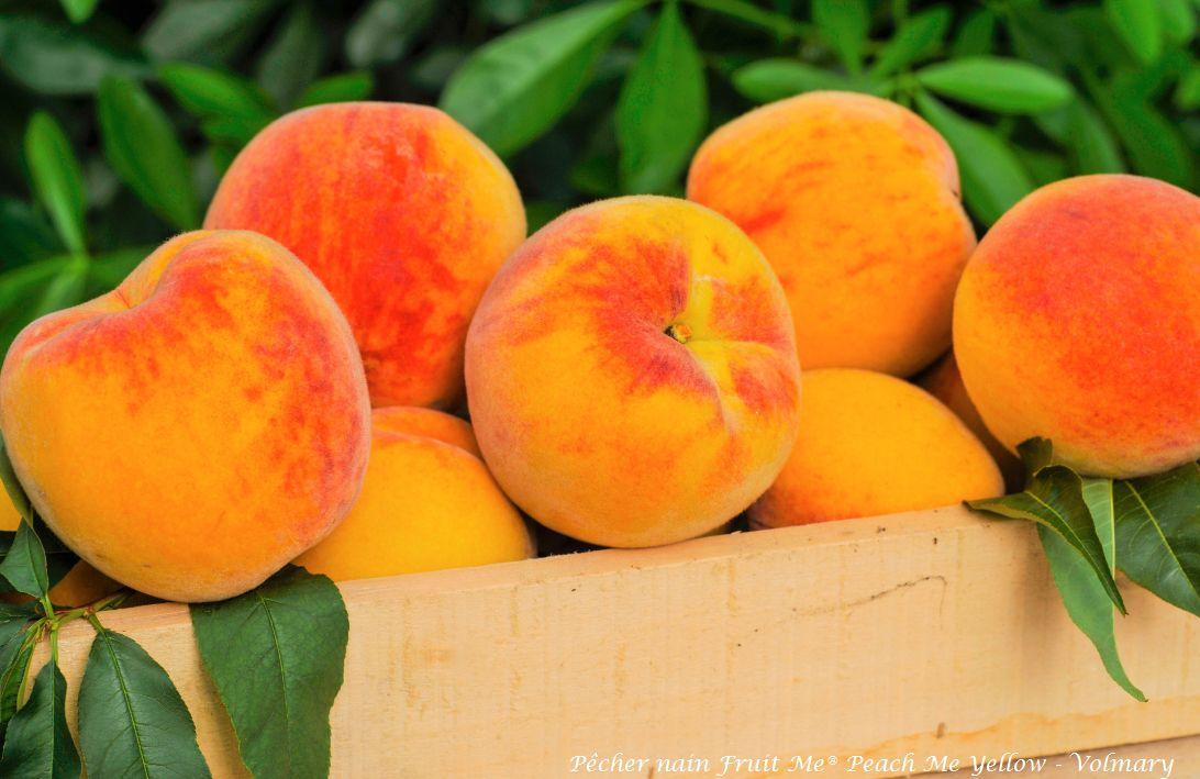 Pêcher nain Fruit Me® Peach Me Yellow - Prunus persica