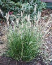 Pennisetum alopecuroides \' Hameln \'