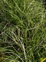 Pennisetum alopecuroides \'Little Bunny\'