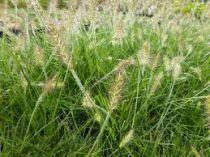 Pennisetum alopecuroides \'Weserbergland\'