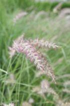 Pennisetum orientale \'Karley Rose\' ®