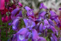 Penstemon \'Sour Grapes\'