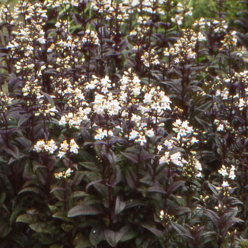 Penstemon digitalis \'Husker Red\'