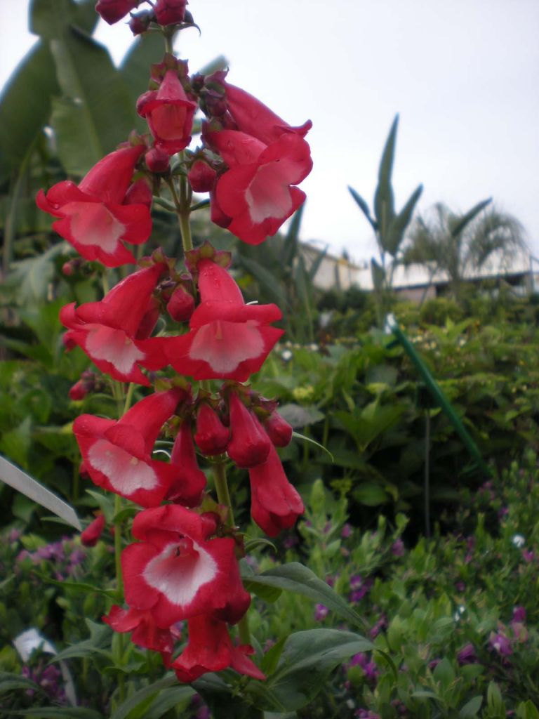 Penstemon phoenix \' rouge \'
