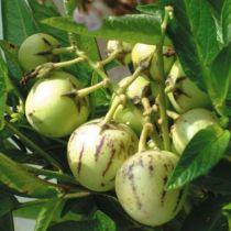 Pepino / Poire-melon