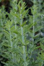 Perovskia atriplicifolia blue spire ou sauge d\'Afghanistan, à feuillage caduc gris vert et à la floraison bleu violacé tout l\'été, au jardin en plein soleil