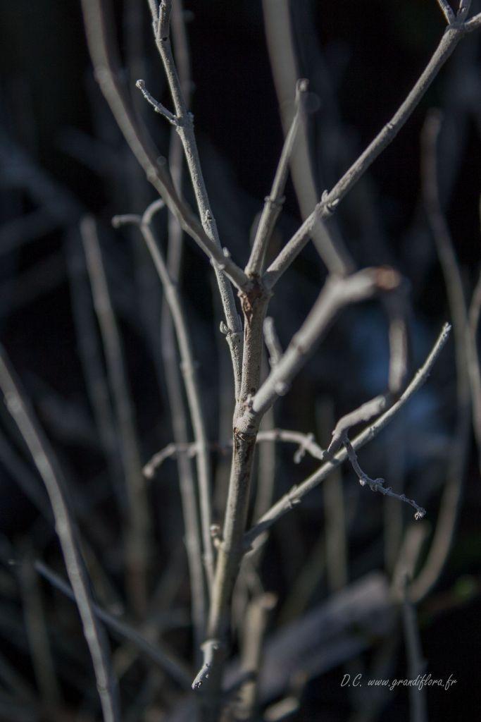 Perowskia atriplicifolia \' Blue Spire \'