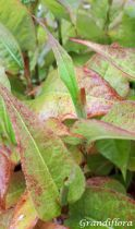 Persicaria amplexicaulis \'Blackfield\'